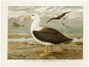 Schwarzzügeliger Albatros