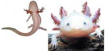 AMB. MEX. (AXOLOTL) ALBIN  breading form- Axolotl mexický