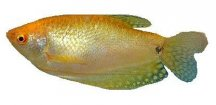 TRICHOGASTER TRICHOPTERUS GOLD -Čichavec zlatý
