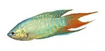 MACROPODUS OPERCULARIS BLUE -Rájovec modrý