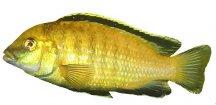 LABIDOCHROMIS SP. YELLOW 3-4cm - Tlamovec žlutý (Tlamovec černoploutvý)