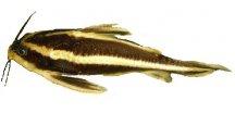 PLATYDORAS COSTATUS 3cm - Trnovec bělopruhý