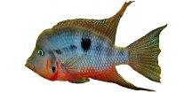 CICHLASOMA/THORICHTHYS MEEKI 3,5-4cm - Kančík červenohrdlý