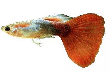 POECILIA RETICULATA MAL(samci) ML-Paví oko-samec (mix barev)
