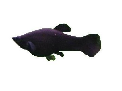 POECILIA SPHENOPS BLACK MOLY 3,5-4cm - Black molly
