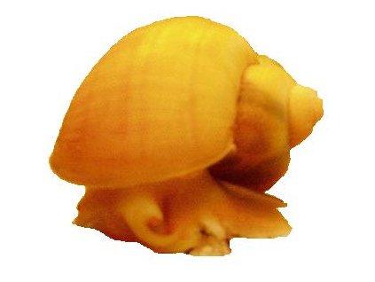 AMPULARIA AUSTRALIS LEMON -Měchýřovka východní-citronová varianta