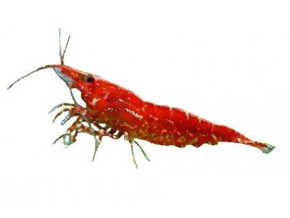 "CARIDINA DENTICULATA ""RED CHERRY"" - krevetka Red Cherry"