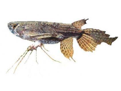 PANTODON BUCHHOLZI-Motýlkovec africký