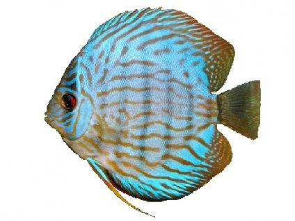 SYMPHYSODON A. SSP BLUE TURQUOISE