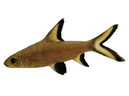 BALANTIOCHEILUS MELANOPTERUS - Parmička žraločí