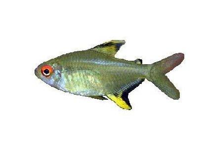 HYPHESSOBRYCON PULCHRIPINNIS 2,5-3cm - Tetra citronová