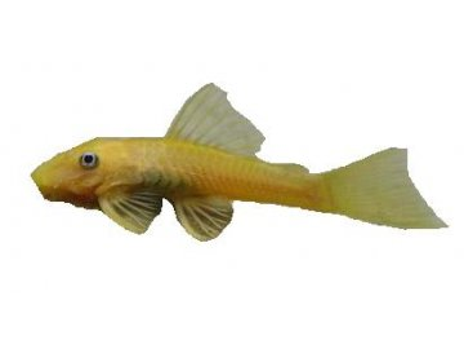 ANCISTRUS GOLD (albin) Krunýřovec zlatý