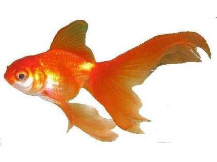 CARASSIUS AURATUS (GOLD FISH) 3-4cm - Karásek zlatý (Závojnatka zlatá,Zlatá rybka)