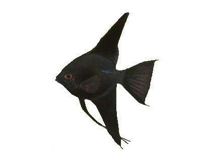 PTEROPHYLLUM SCALARE BLACK - Skalár černý