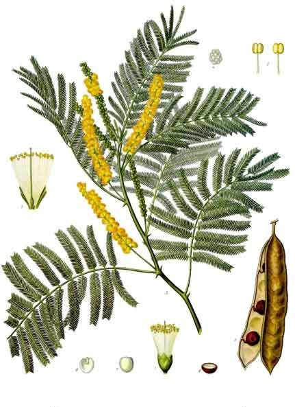 Acacia_catechu_-_Köhler–s_Medizinal-Pflanzen-003