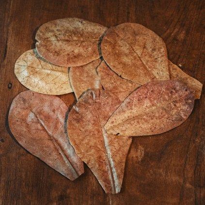 Listy Terminalia Catappa