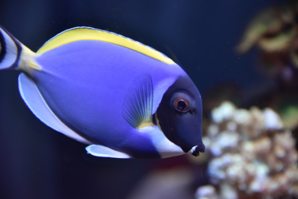 blue-saltwater-fish_2_3