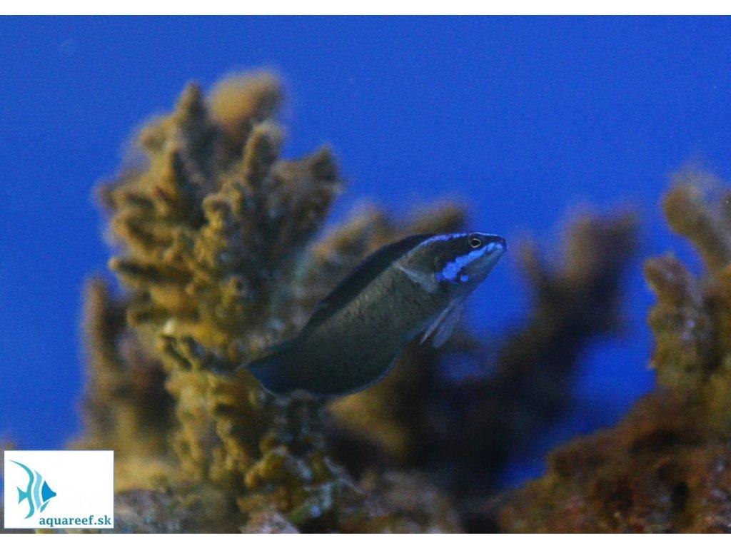 Pseudochromis springeri  Pseudochromis springeri