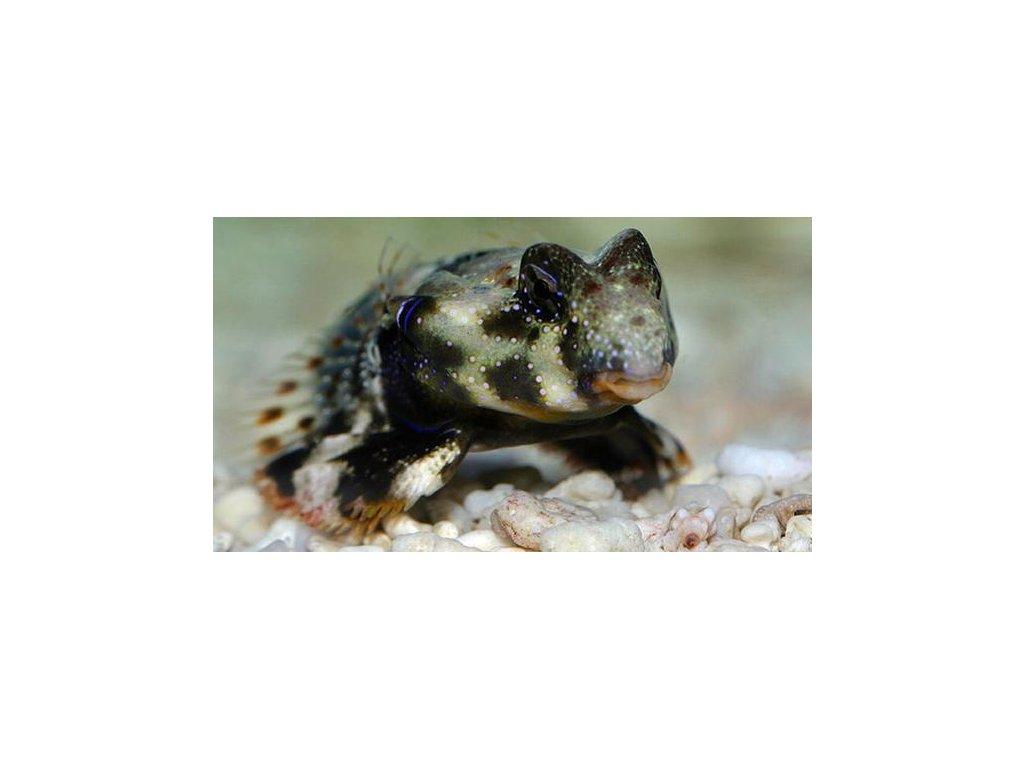 synchiropus ocellatus1