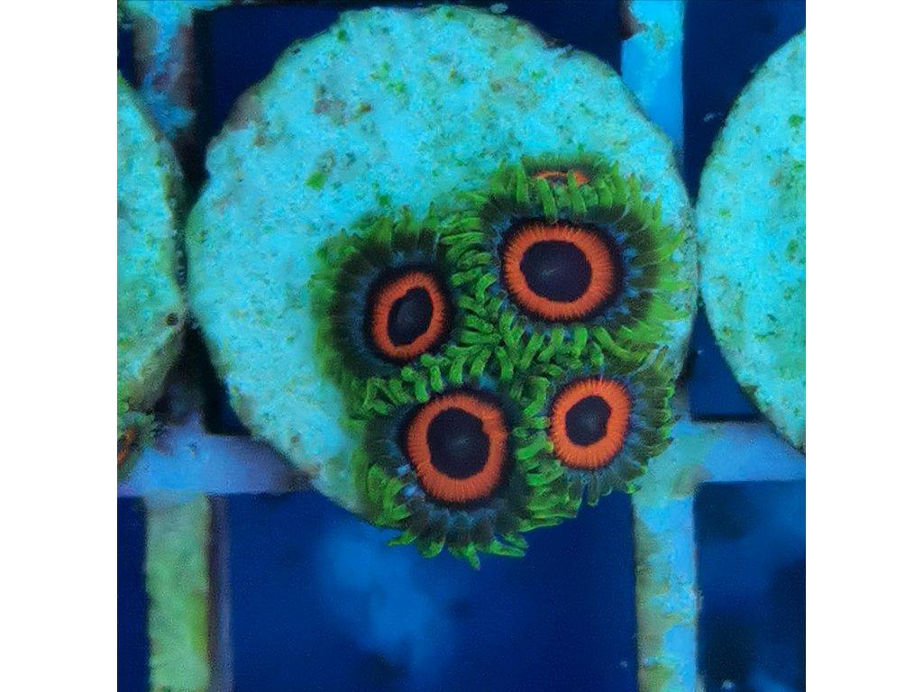 Ultra Zoanthus WATERMELON