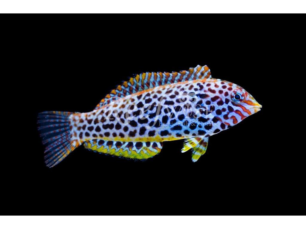 Macropharyngodon meleagris II