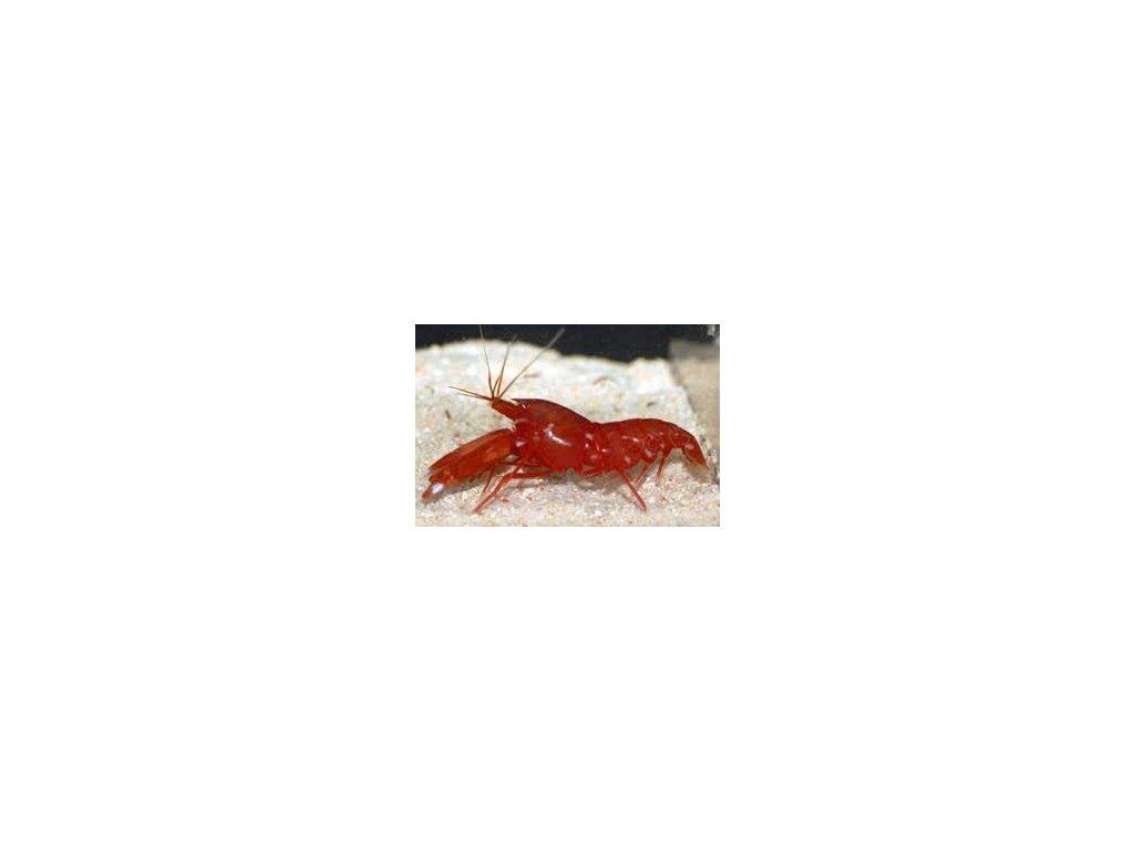 Alpheus bisinctus II