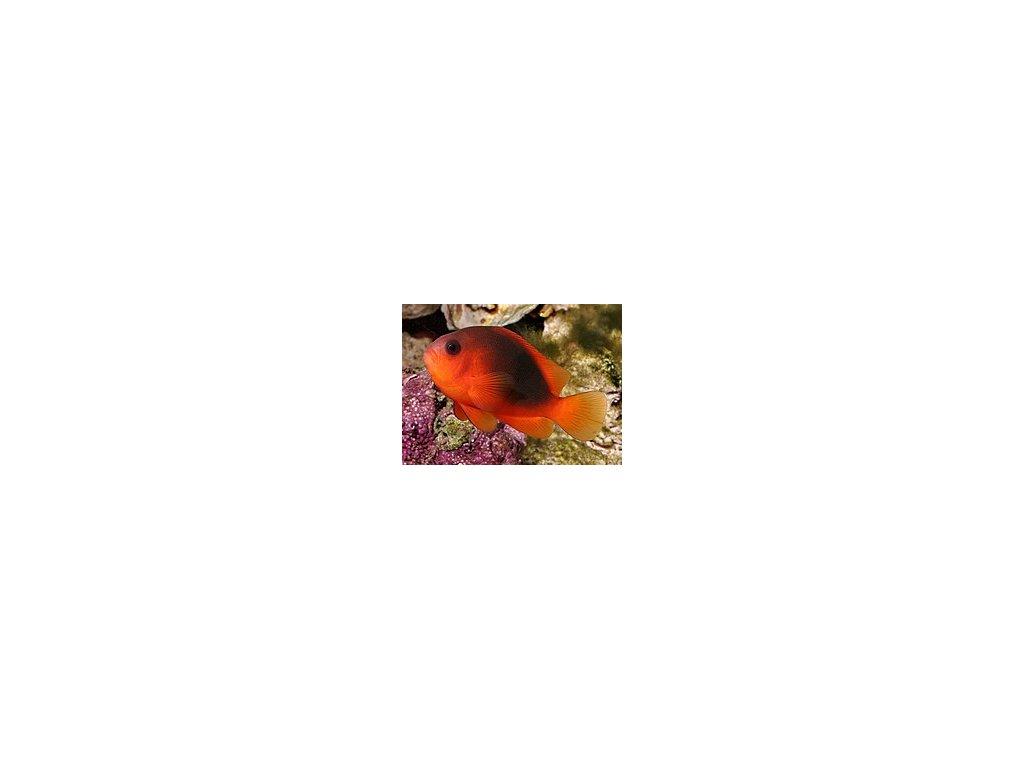 Amphiprion ephippium