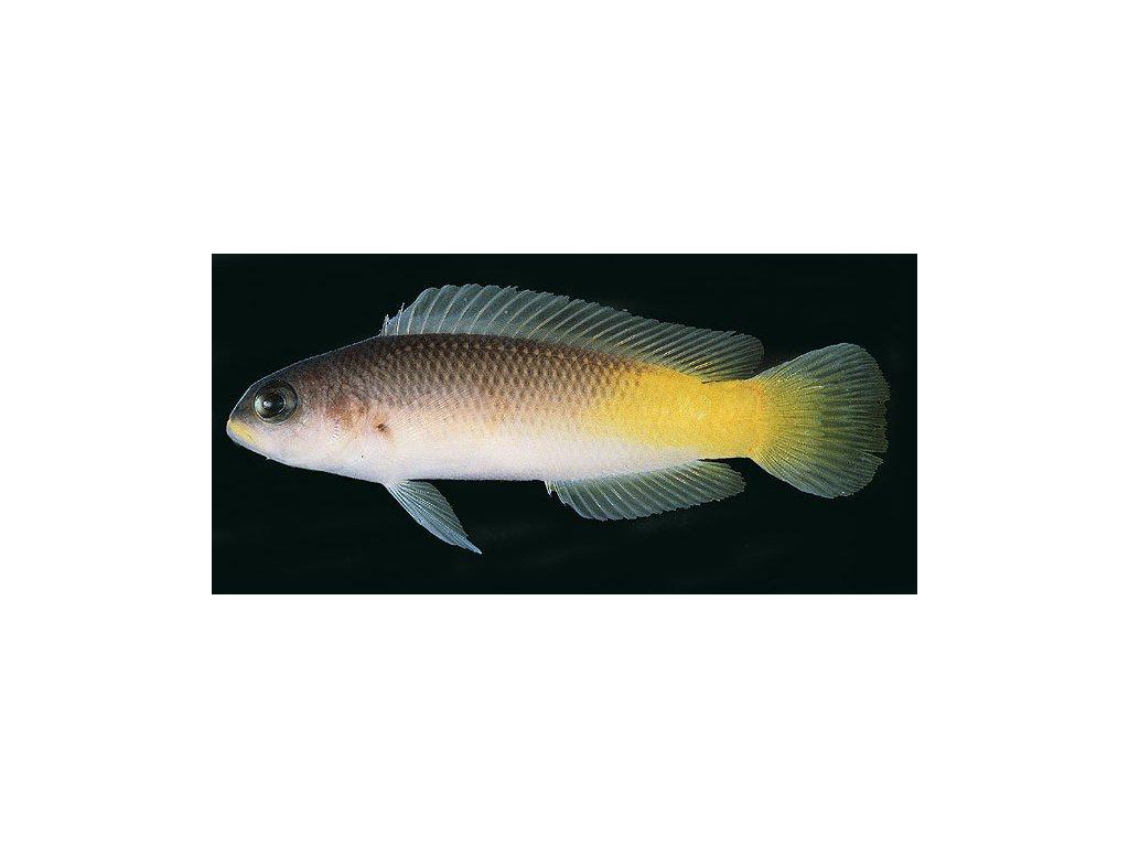 Pseudochromis pylei