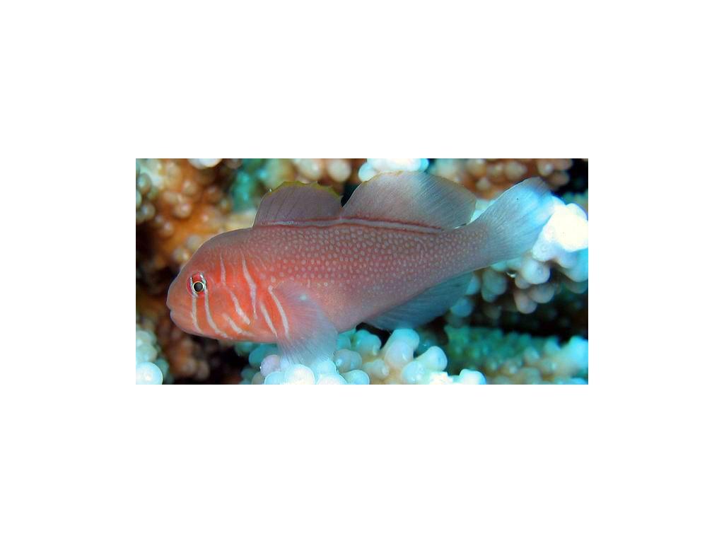 gobiodon rivulatus1