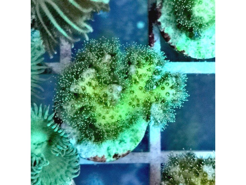 Pocillopora sp. GREEN