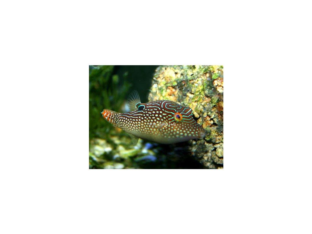 canthigaster margaritata3