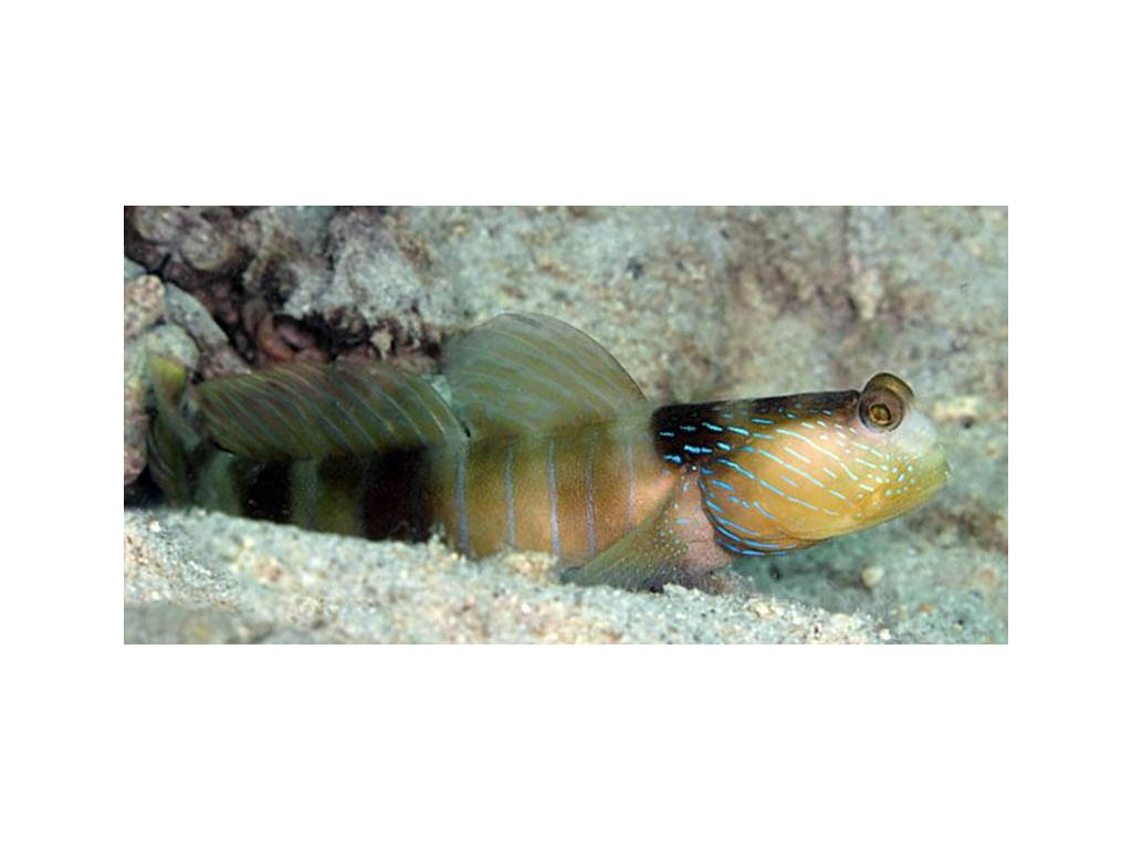 Cryptocentrus cyanotaenia SeaGarden Akwarystyka morska sklep Dolny Śląsk1