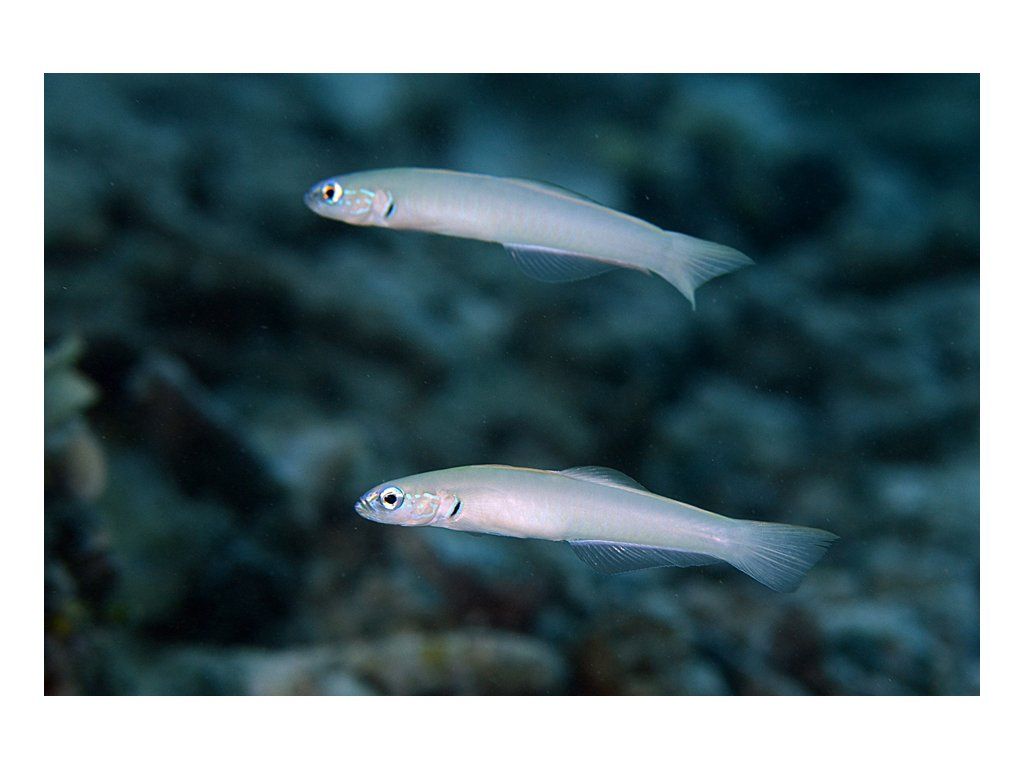 PtereleotMicrolepis pair