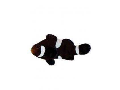 amphiprion ocellaris black misbar