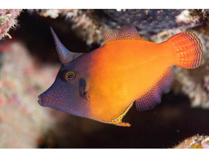 pervagor melanocephalus1