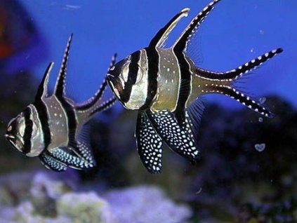 Pterapogon kauderni pár1