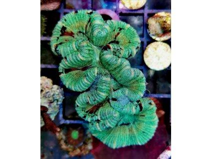 Trachyphyllia geoffroyi