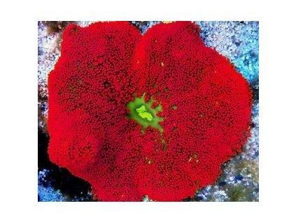 stychodactyla mini ultra red
