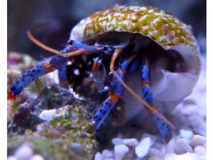 clibanarius tricolor5