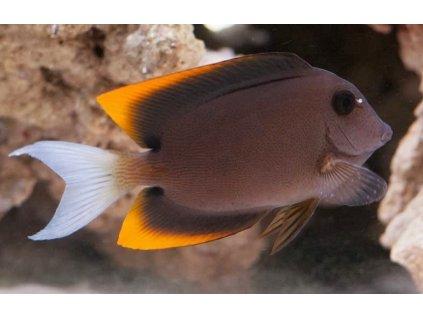 Ctenochaetus tominiensis 10
