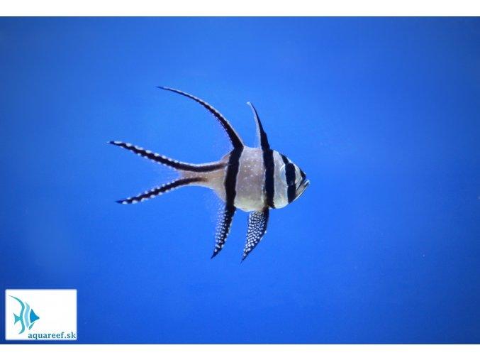 Pterapogon kauderni  Pterapogon kauderni