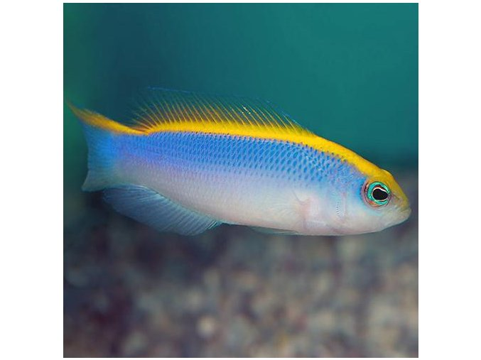 pseudochromis flavivertex