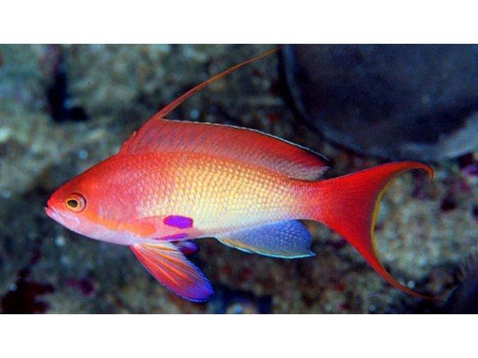 Pseudanthias squamipinnis II