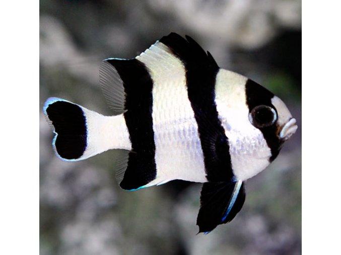 Dascylus melanurus II