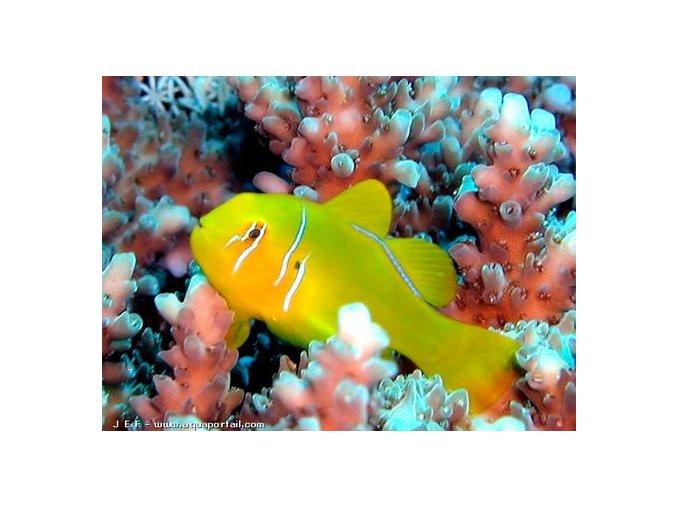 gobiodon citrinus2