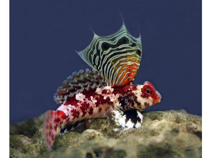 synchiropus marmoratus2