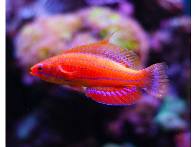 Paracheilinus carperteri1