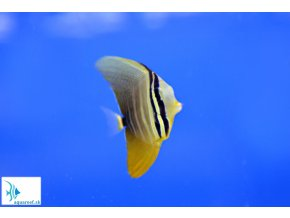 Zebrasoma veliferum  Zebrasoma veliferum