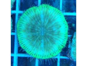 Fungia sp.  Fungia