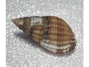nassarius reticulatus2